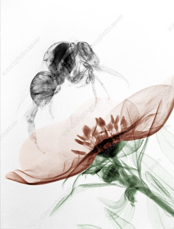 Bumblebee On A Flower X Ray