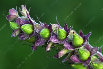Foxglove seed pods