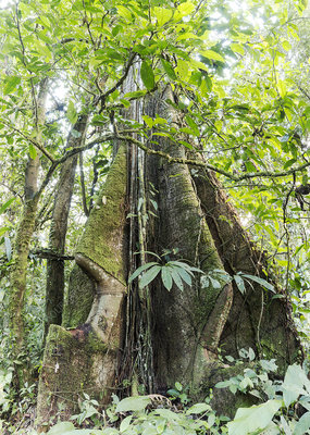 Rainforest tree with roots, Ecuador