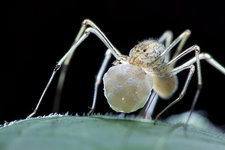 Spitting spider with egg sac