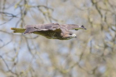 Eurasian buzzard in flight