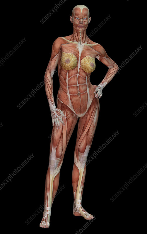 Female Muscle Anatomy Stock Image C0272436 Science Photo Library