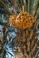 Dates in Morocco