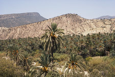 Date Palms in Morocco