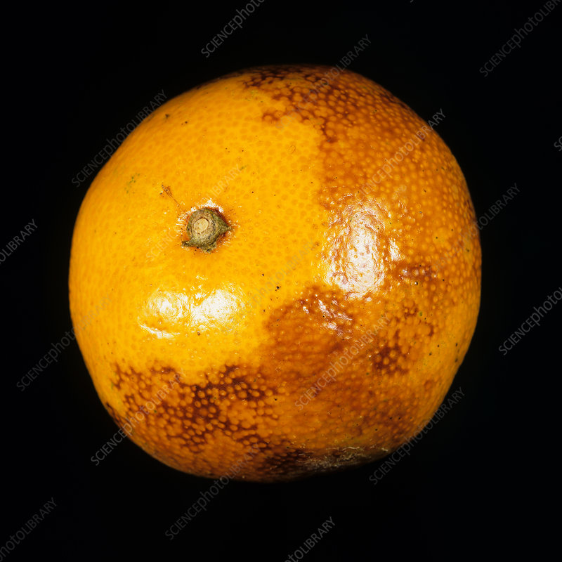 Olive Orange County Trojan Roman Troy Orange Citrus Fruit Crate Label Art Print