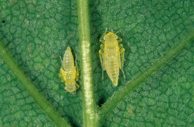 Sycamore leafhopper