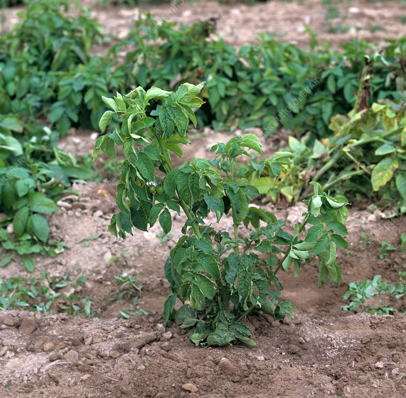 Potato tuber spindle viroid damage
