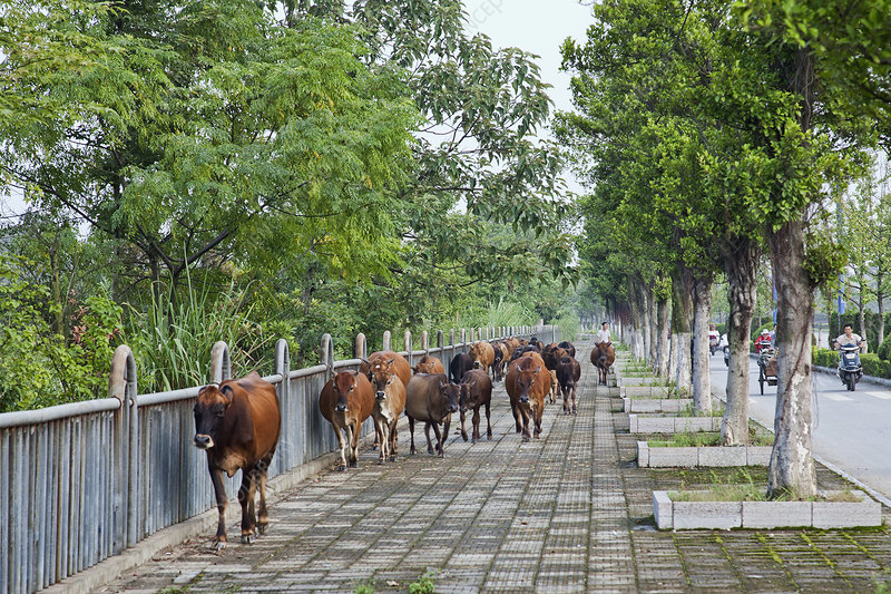 Tending Cattle, Guilin, China