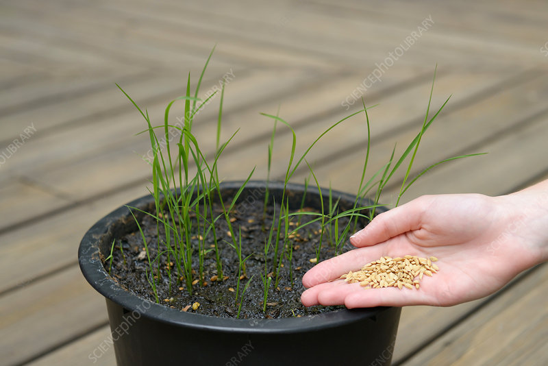 Rice seedlings and seeds