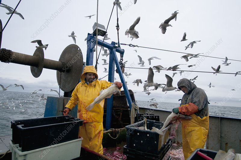 Fishermen clean Atlantic Cod Fish