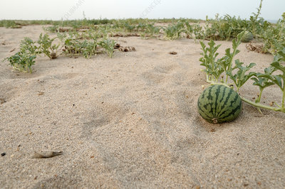 Watermelons grow on Dunes
