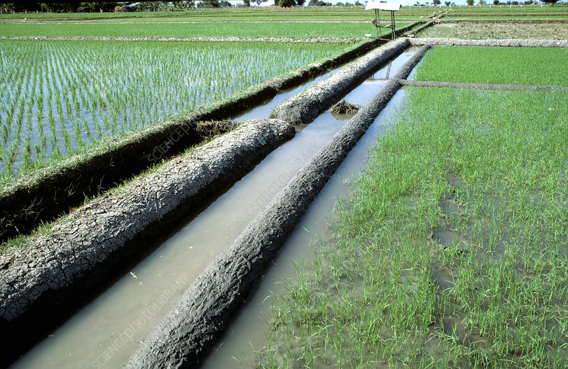 Mud Levies on Rice Fields