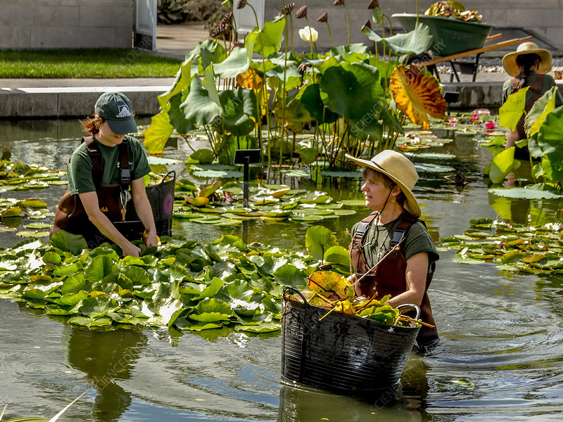 Gardeners Tend to lilies, New York