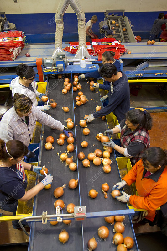 Workers Sort and Package Onions