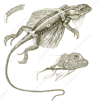 Flying Lizard, Illustration