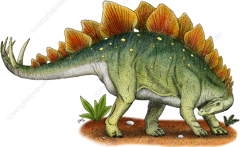 Stegosaurus, Illustration