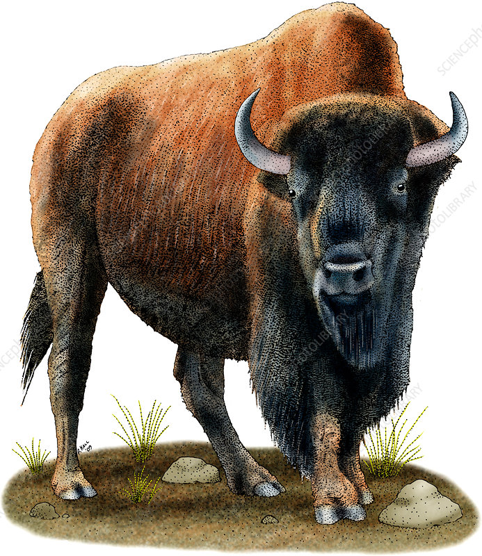 American Bison, Illustration