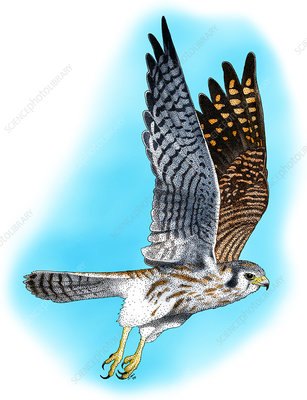 American Kestrel in flight, Illustration