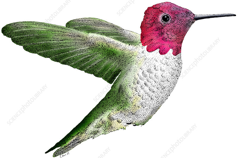 Anna's Hummingbird, Illustration