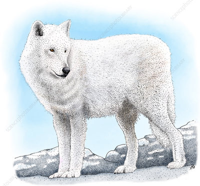 Arctic Wolf, Illustration