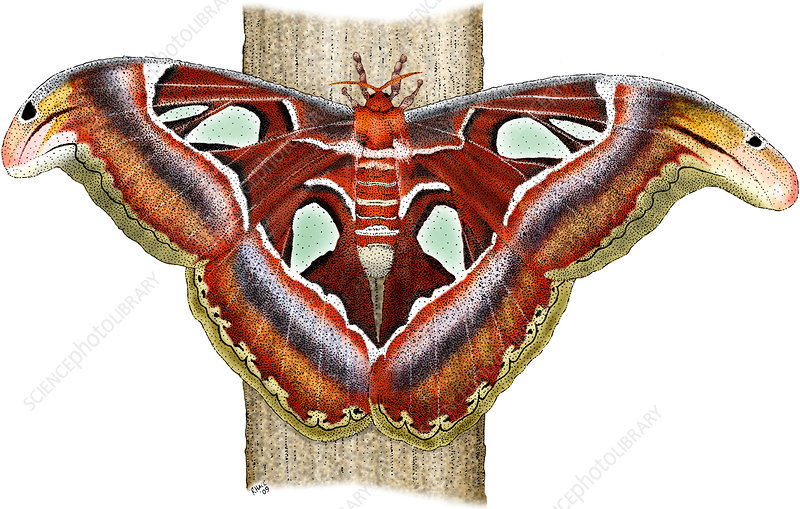 Atlas Moth, Illustration
