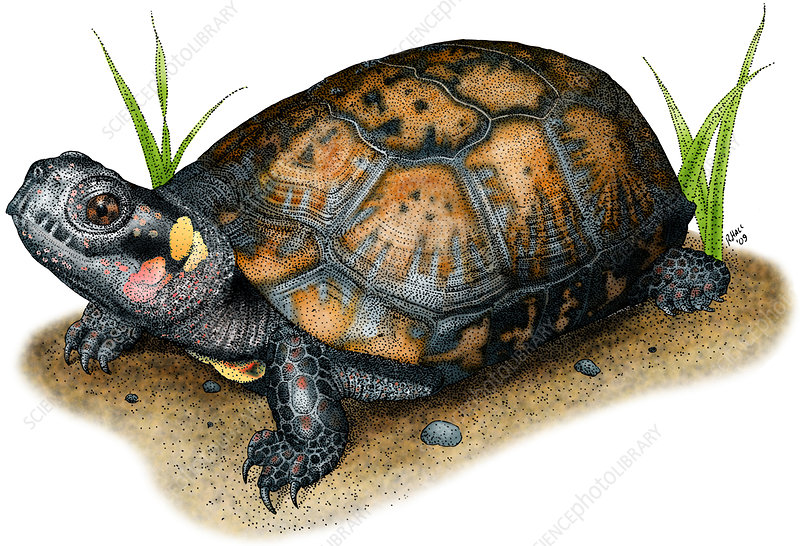 Bog Turtle, Illustration