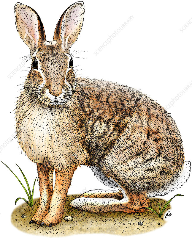 Brush Rabbit, Illustration
