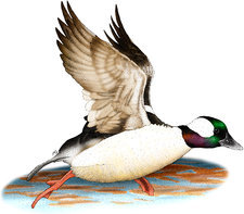 Bufflehead Drake, Illustration