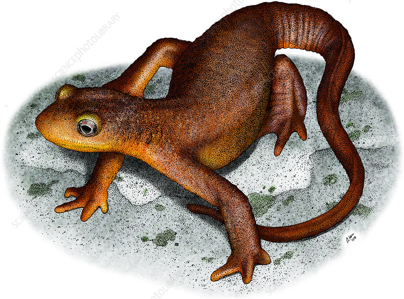 California Newt, Illustration