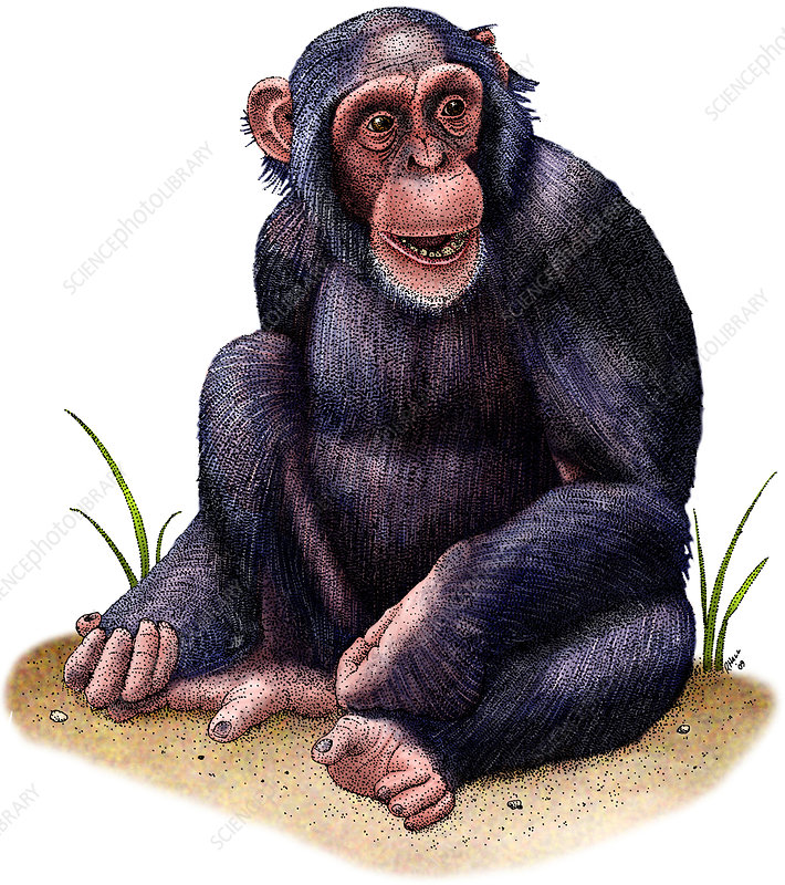 Chimpanzee, Illustration