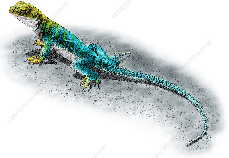 Collared Lizard, Illustration