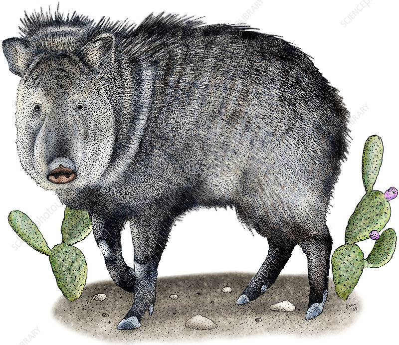 Collared Peccary, Illustration