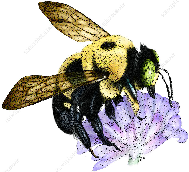 Common Eastern Bumble Bee, Illustration