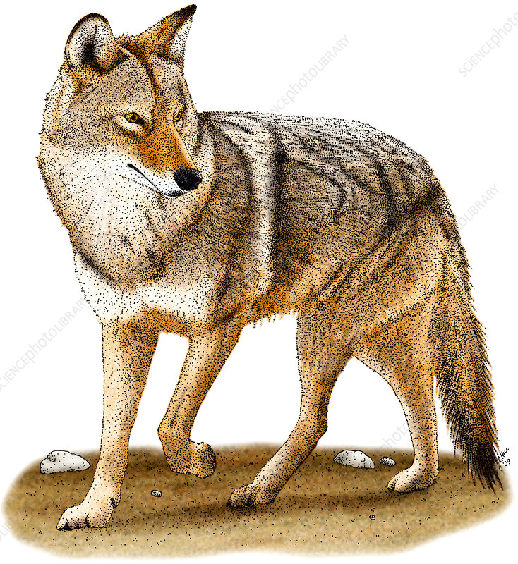 Coyote, Illustration