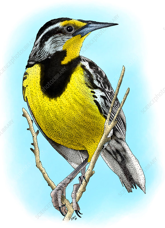 Eastern Meadowlark, Illustration