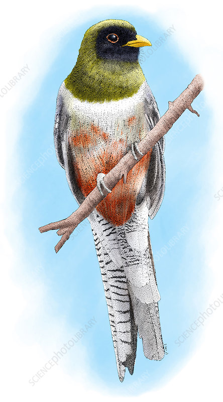 Elegant Trogon, Illustration
