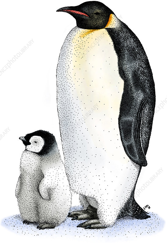 Emperor Penguin with Chick, Illustration