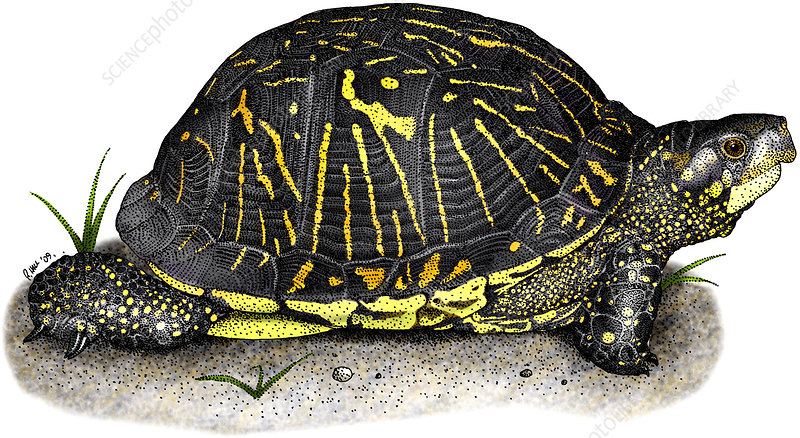 Florida Box Turtle, Illustration