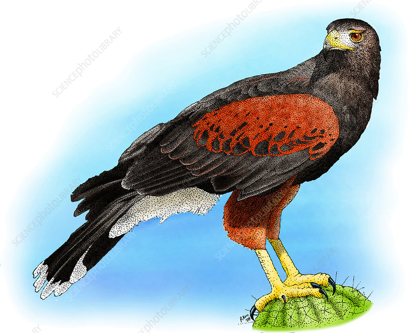 Harris Hawk, Illustration