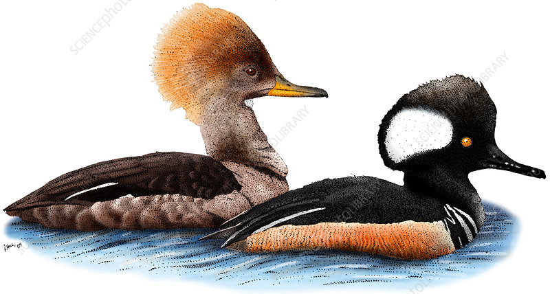 Hooded Merganser Pair, Illustration