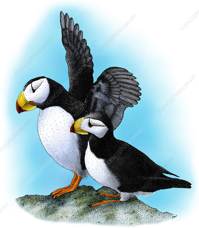 Horned Puffins, Illustration