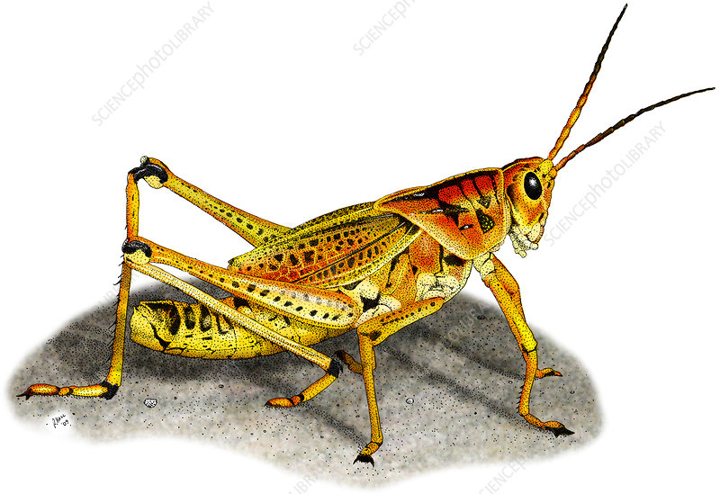 Lubber Grasshopper, Illustration