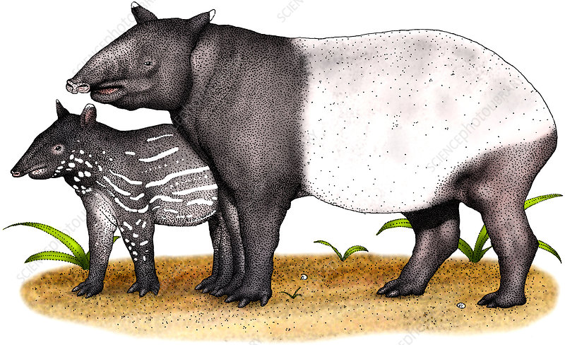 Malayan Tapir, Illustration