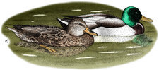 Mallard Duck Pair, Illustration