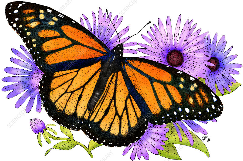 Monarch Butterfly, Illustration