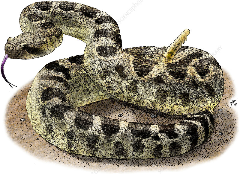 Rattlesnake, Illustration