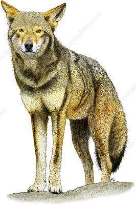 Red Wolf, Illustration