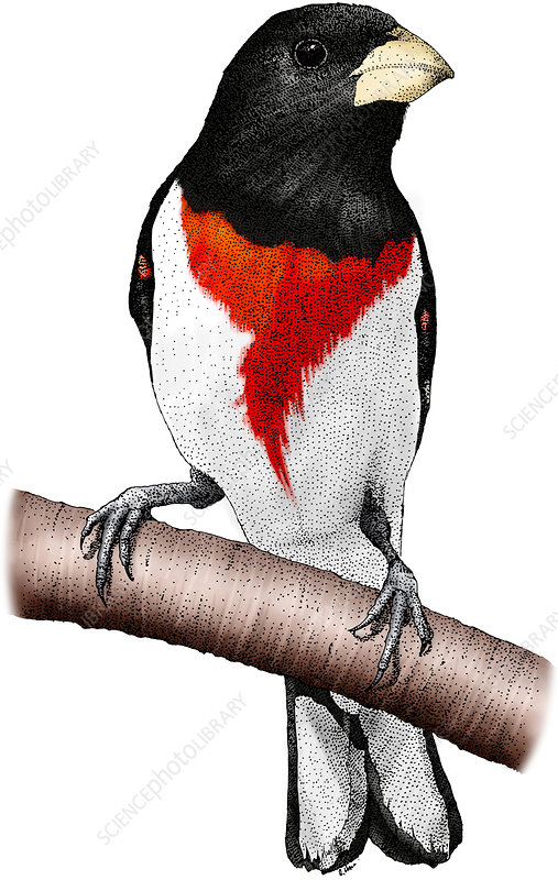 Rose-breasted Grosbeak, Illustration