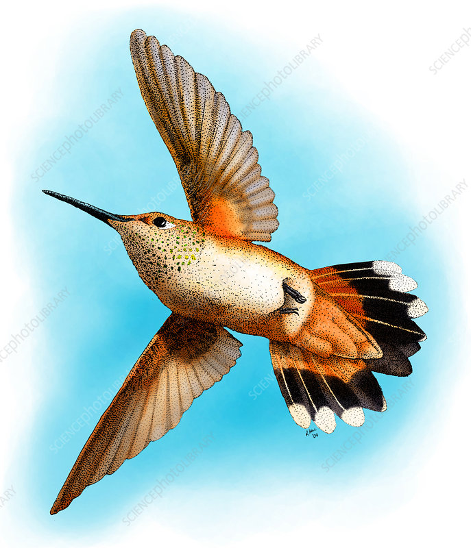 Rufous Hummingbird, Illustration