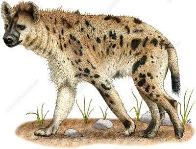 Spotted Hyena, Illustration